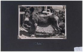 Jarkie ( Baby Lion )