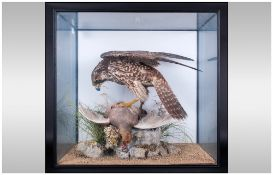 Taxidermy Bird of Prey Figure - Victorian ' Peregrine Falcon with Prey ' Cased and Mounted, Later