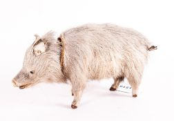 Realistically Modelled Boar Cardboard Interior With Detachable Head, Leather Ears, Glass Eyes And