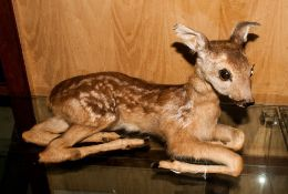Taxidermy Interest Deer Fawn, Height 12 x 20 Inches