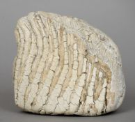 A mammoth's tooth Of typical form.  13 cm wide. CONDITION REPORTS: Generally good, some slight
