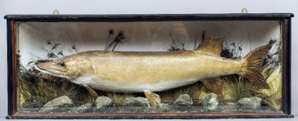 A 19th century taxidermy pike by A.F. Adsetts, 129 London Road, Derby In glass case with