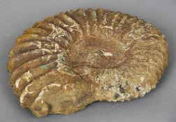 An ammonite fossil specimen Of typical form.  38 cm wide. CONDITION REPORTS: Some chipping,