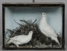 A preserved pair of ptarmigan Naturalistically mounted within a glazed case.
