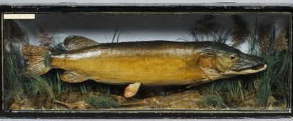 A preserved pike Naturalistically mounted within a glazed cased,