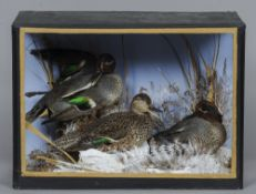 A preserved three of teal Naturalistically mounted within a glazed case.  52 cm wide; 37 cm high.