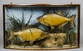 A preserved pair of bream, possibly by W.F. Homer Naturalistically mounted within a bow fronted