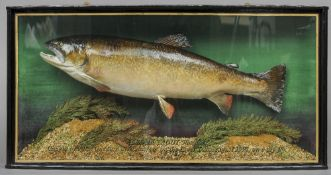A taxidermy specimen of a preserved brown trout In a naturalistic setting,