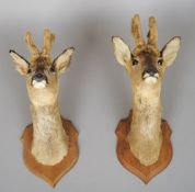 A taxidermy specimen of a pair of preserved and mounted roe buck heads in velvet Each typically