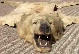 A taxidermy brown bear (ursus arctos) rug With head mount.  Approximately 200 cm long. CONDITION