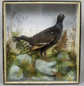 A taxidermy specimen of a preserved male black grouse In a naturalistic setting,