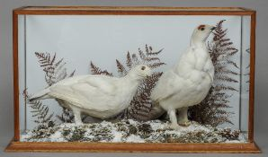 Two taxidermy specimens of preserved Ptarmigan In a naturalistic winter setting,