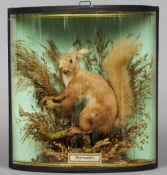 A taxidermy specimen of a preserved red squirrel In a naturalistic setting,