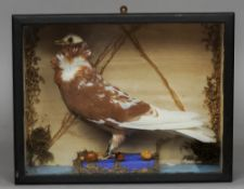 A taxidermy Red Dutch Capuchine pigeon In glazed case.  38 cm wide. CONDITION REPORTS: Generally