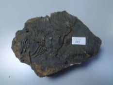 A large fossilised crinoid plaque 28cm by 19cm