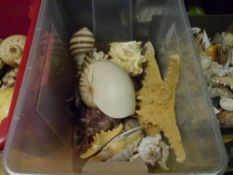 A group of shells including queen conch clam, and abalone (c .16)
