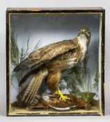 A taxidermy specimen of a Common Buzzard (Buteo buteo) Standing over a Red Grouse (Lagopus lagapus