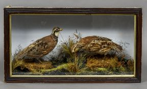 A taxidermy specimen of a pair of preserved Quail In a naturalistic setting, in a part glazed case.