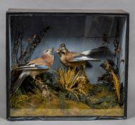 A taxidermy specimen of a pair of Jays (Garrulus glandarius) Set in a naturalistic setting,