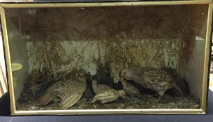 A taxidermy specimen of a pair of preserved English (Grey or Common) Partridge (Perdix perdix) With