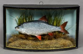 A large model of a Roach (Rutilus rutilus) Set in a naturalistic setting in a part glazed bow