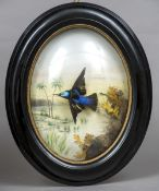 A taxidermy specimen of a preserved humming bird Housed in a bow fronted hanging case with