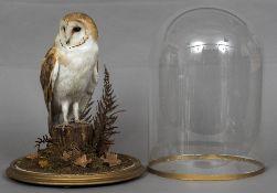 A modern taxidermy specimen of a Barn Owl (Tyto alba) - WITHDRAWN