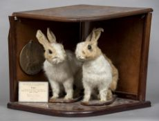 A pair of early 20th century taxidermy preserved rabbits Mounted in a mahogany case with applied