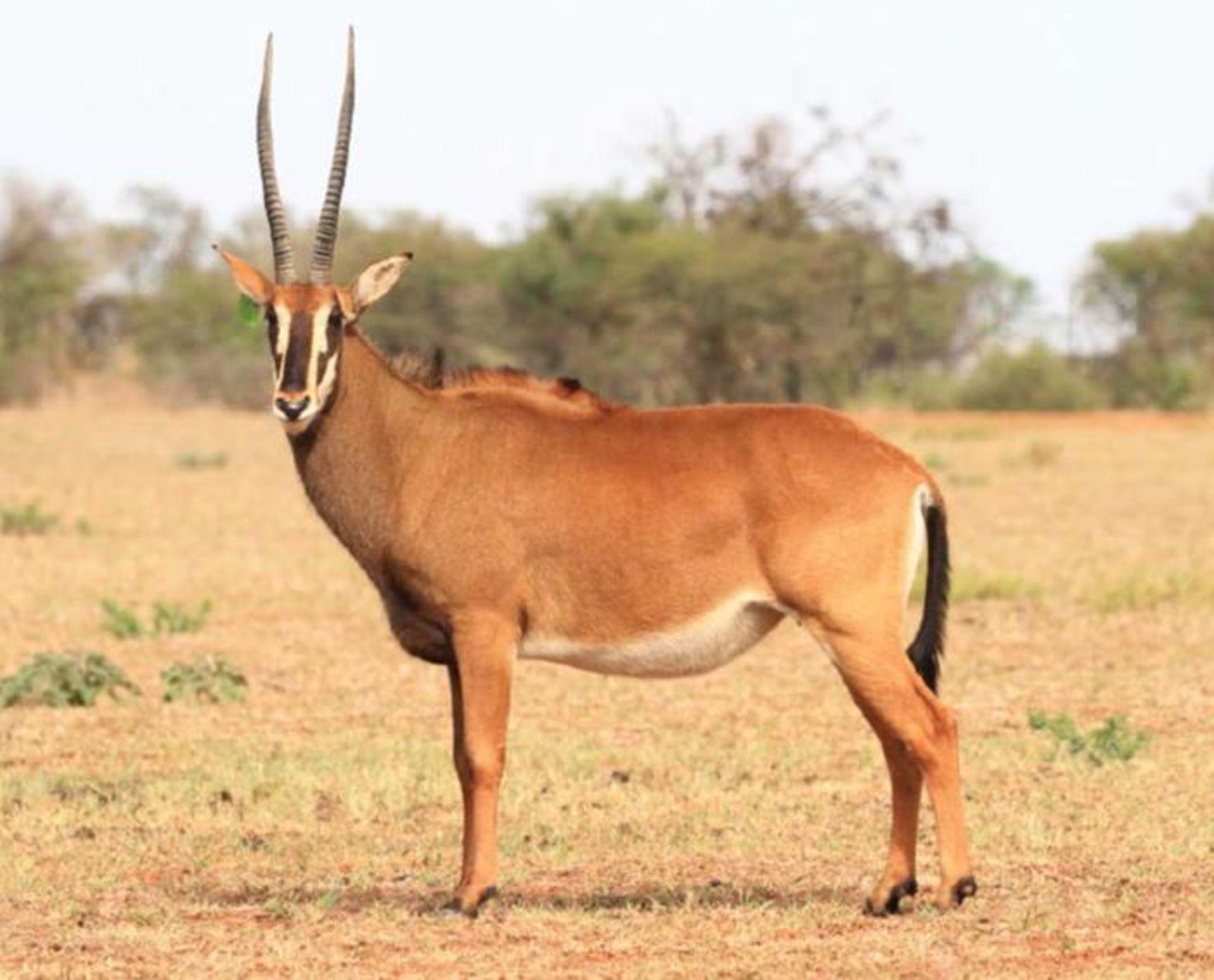 INTERMEDIATE COW IN CALF TO ZAMBIAN BULL DAVID - 1 FEMALE