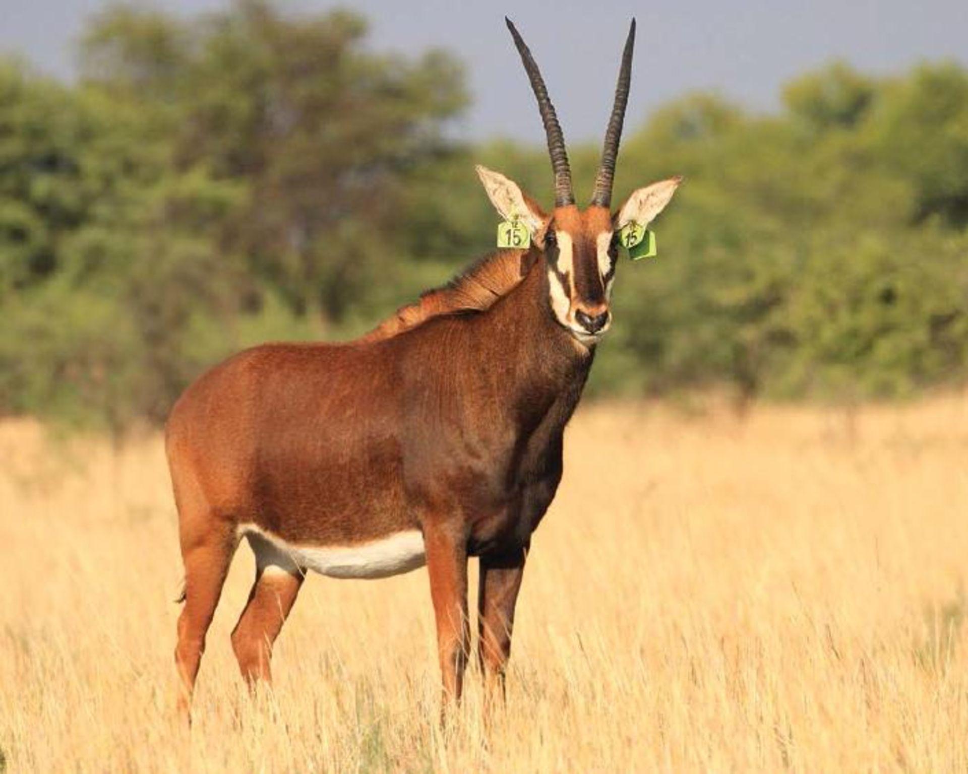 "ZAMBIAN COW IN CALF TO 44"" ZAMBIAN BULL ATLAS - 1 FEMALE"