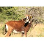 "295/8"" ZAMBIAN COW CINDERELLA (3-IN-1) IN CALF TO 50+"" ZAMBIAN LOMBA - 1 + 1 FEMALE"