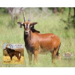 "YOUNG BULL - SON OF 50+"" ZAMBIAN BULL LOMBA - 1 MALE"
