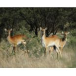 RED LECHWE FAMILY GROUP - 1 MALE , 4 FEMALES