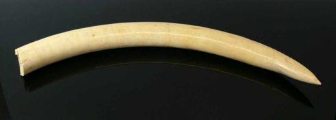 Elfenbein-Stoßzahn nicht beschnitzt; L: ca. 79,5 cm; 3,95 Kilo; CITES-Bescheinigung DE-189/13 vom