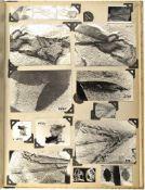 3 FOTOALBEN, ca. 200 s/w Aufnahmen von präparierten Pflanzen-Fossilien, meist 9x13 cm, um 1950, (