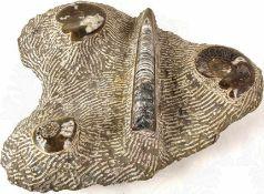 """FOSSILIEN-GRUPPE, präparierte Platte, grauer, versteiner Meeresboden, darauf ein Belemnit ("""""""