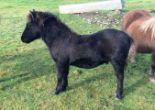 Lot 69 - Black - Standard - Colt Foal, - DOB: 17th May 2017