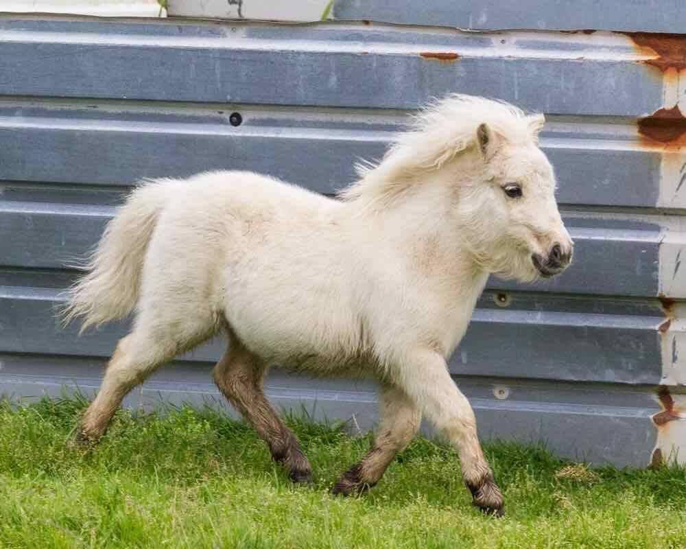 Lot 70 - Palomino - Miniature - Filly Foal, - DOB: 11th May 2017