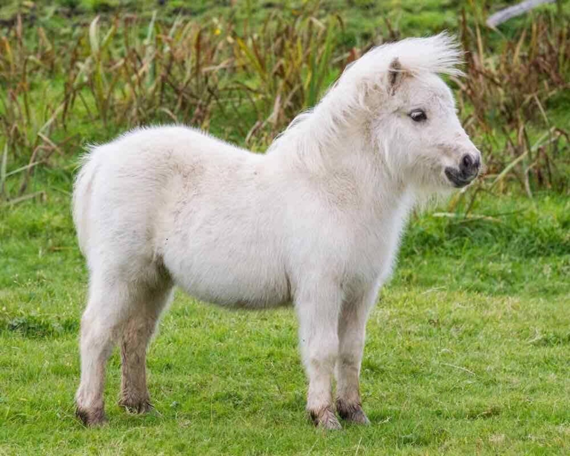 Palomino - Miniature - Filly Foal, - DOB: 11th May 2017 - Image 5 of 7