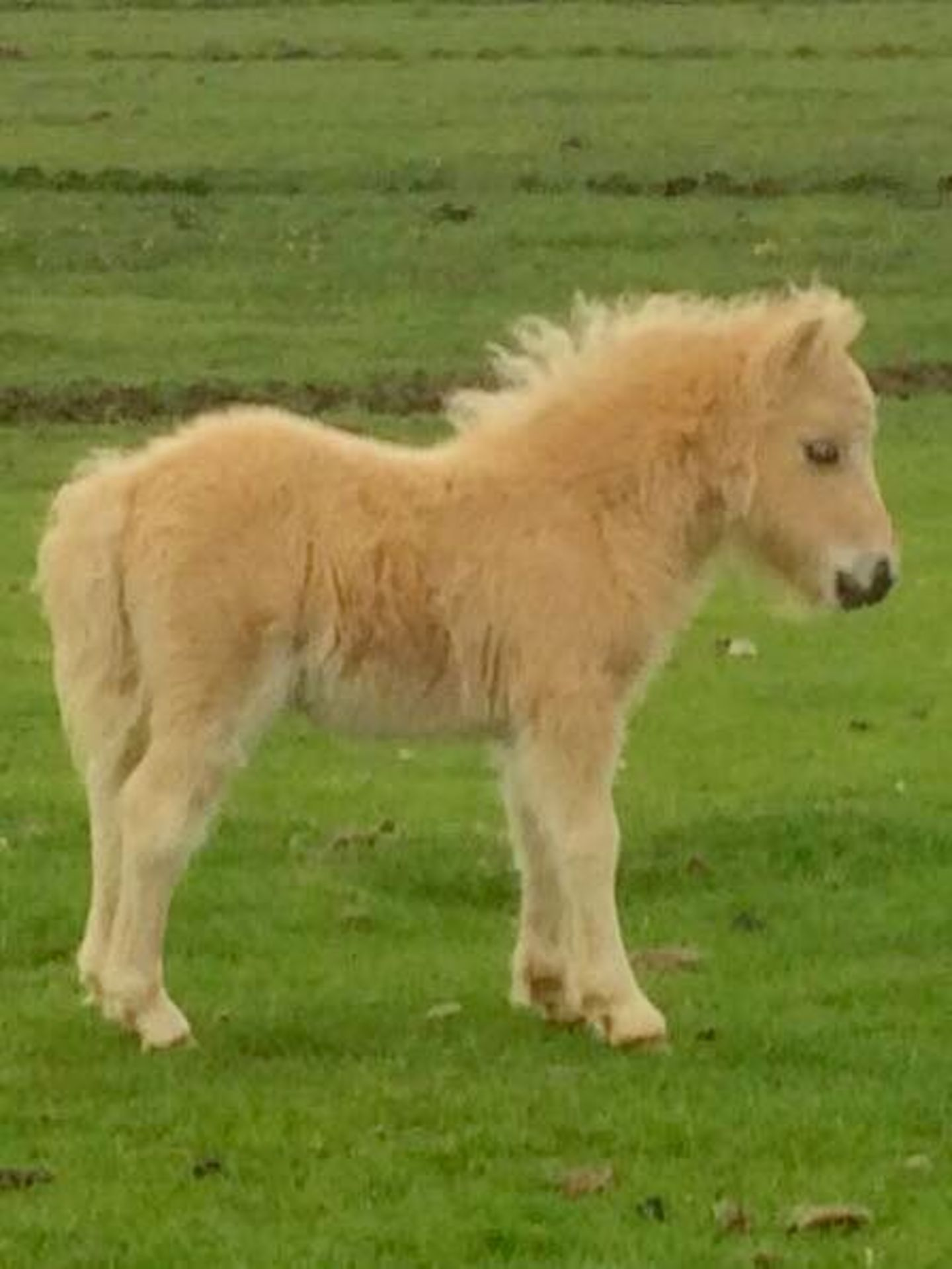 Palomino - Miniature - Filly Foal, - DOB: 11th May 2017 - Image 2 of 7