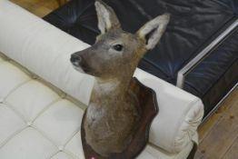 Taxidermy: a wall mounted trophy of a roe deer, on an oak shield.