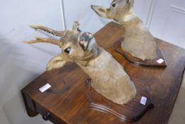 Taxidermy: a wall mounted trophy of a roe buck deer head, on an oak shield.