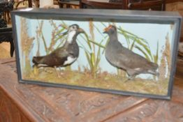 A taxidermy of two birds including a lapwing, arranged amidst reeds and grass in an ebonised