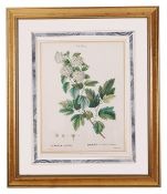 Two Pierre-Joseph Redoute botanical prints and four others including 'Coelogyne Cristata', 'Lycastle