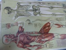 TWO LARGE GERMAN VINTAGE COLOUR LITHOGRAPH MEDICAL ANATOMICAL FOLDING CHARTS, ONE A FULL LENGTH