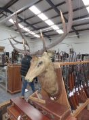 A LARGE TAXIDERMY STAGS HEAD