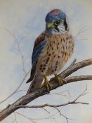 MARK CHESTER (20TH CENTURY), PORTRAIT OF AN AMERICAN KESTREL ON A BRANCH, SIGNED AND DATED 1991,