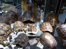 A GROUP OF TEN TORTOISE AND TERRAPIN CARAPACE TO INCLUDE TWO FULL MOUNTS.