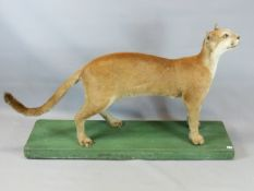 AN IMPRESSIVE VICTORIAN TAXIDERMY SPECIMEN OF A PUMA OR MOUNTAIN LION, FELIS CONCOLOR, MOUNTED FOR