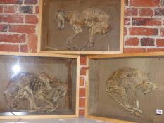THE CURIOUS AND MACABRE MUMMIFIED SKELETONS OF A CAT AND TWO HOUNDS, NOW HOUSED IN SHADOW BOXES.16/
